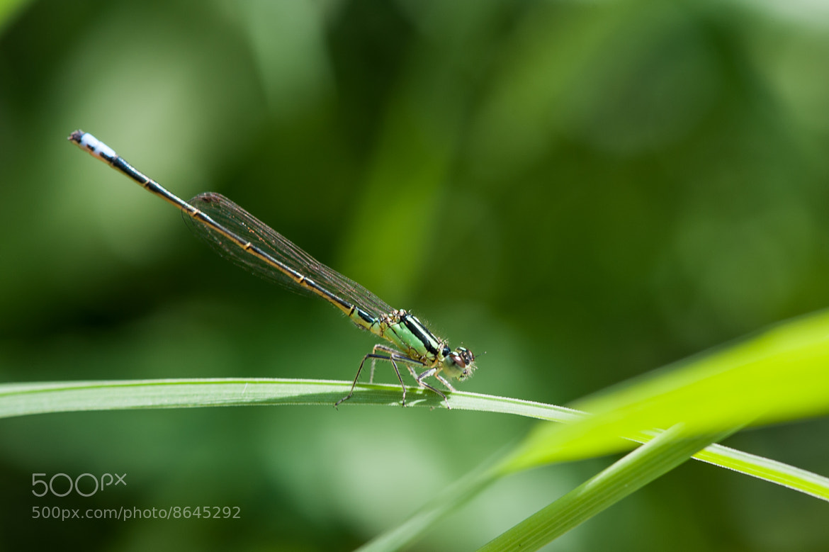 Photograph Dragonfly by Justin Lo on 500px