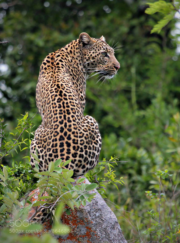 Photograph Leopard by Danie Benade on 500px