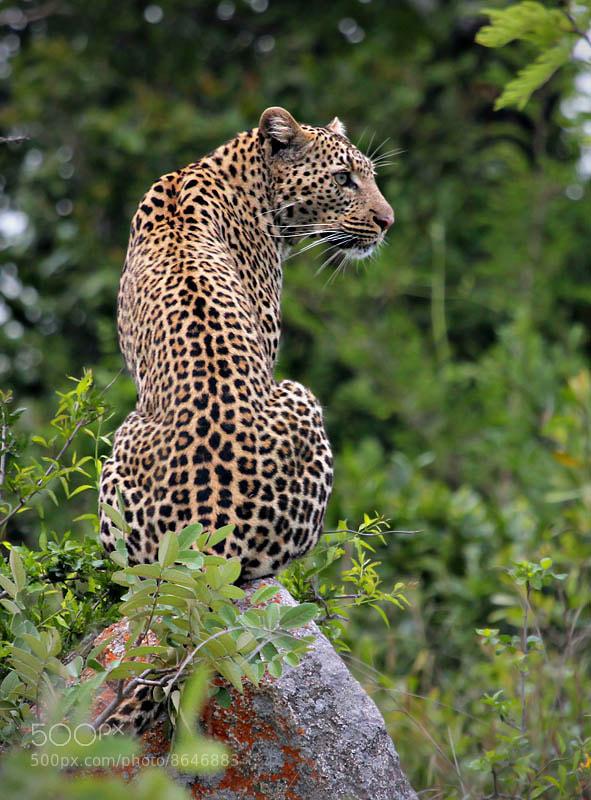 Photograph Leopard by Danie Benade on 500px