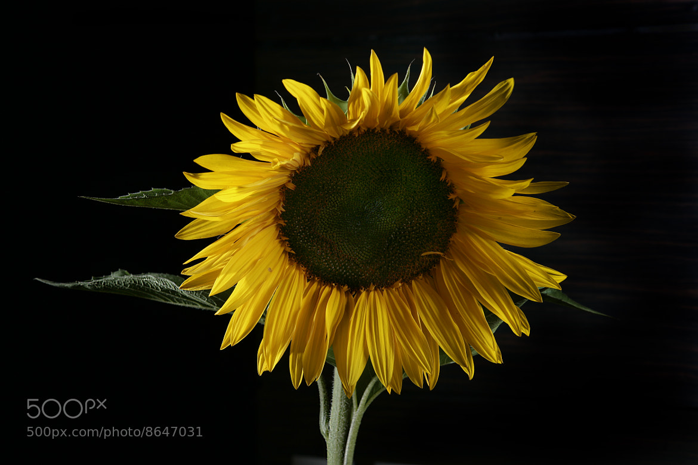 Photograph Luxury sunflower by Cristobal Garciaferro Rubio on 500px
