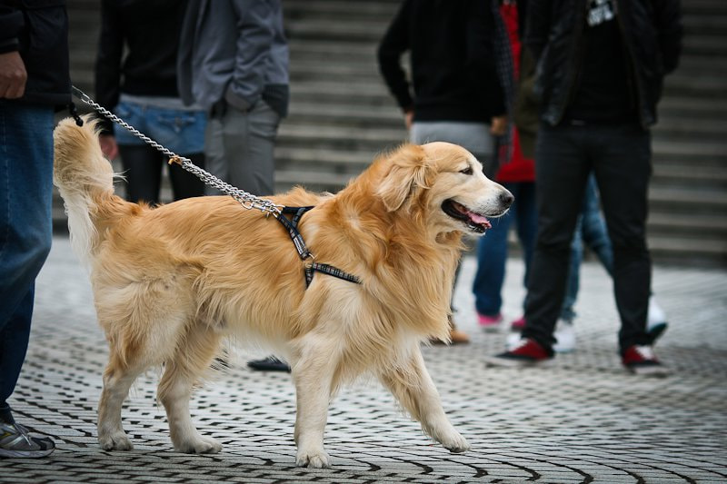Photograph Golden Retriever by Jimmy Tong on 500px