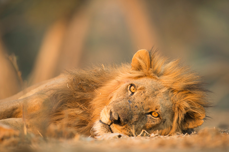 Mana Lion by Jez Bennett on 500px.com