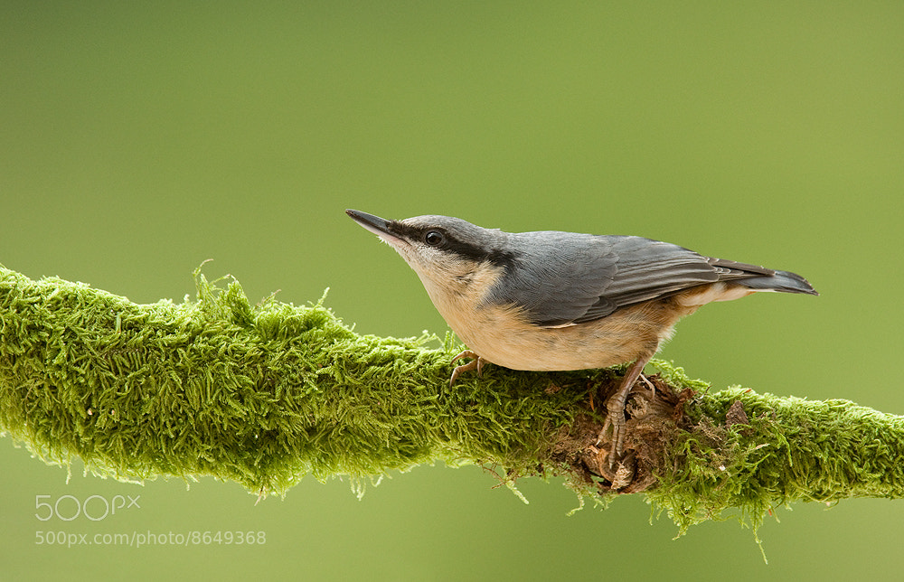 Photograph Young Nuthatch by Geoffrey Baker on 500px