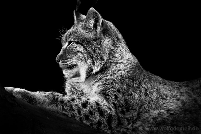 Photograph LYNX by Wolf Ademeit on 500px