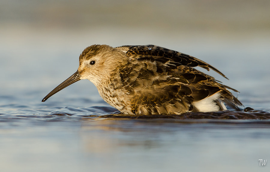 Photograph Dunlin by Trond  Westby on 500px