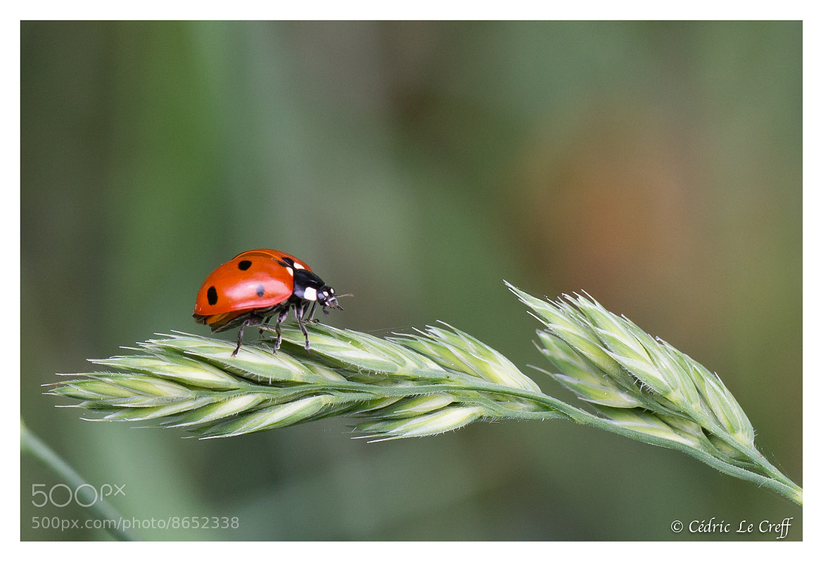 Photograph Coccinelle by Cédric Le Creff on 500px