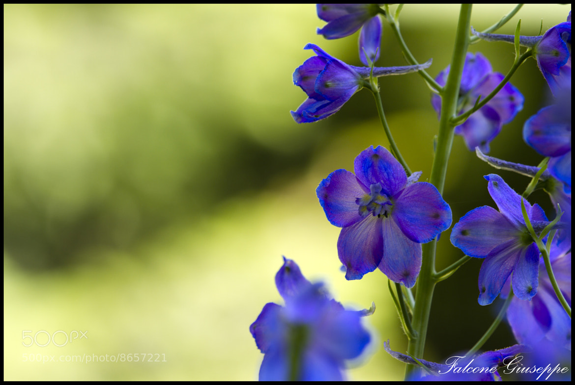 Photograph Purple flowers by Falcone Giuseppe on 500px