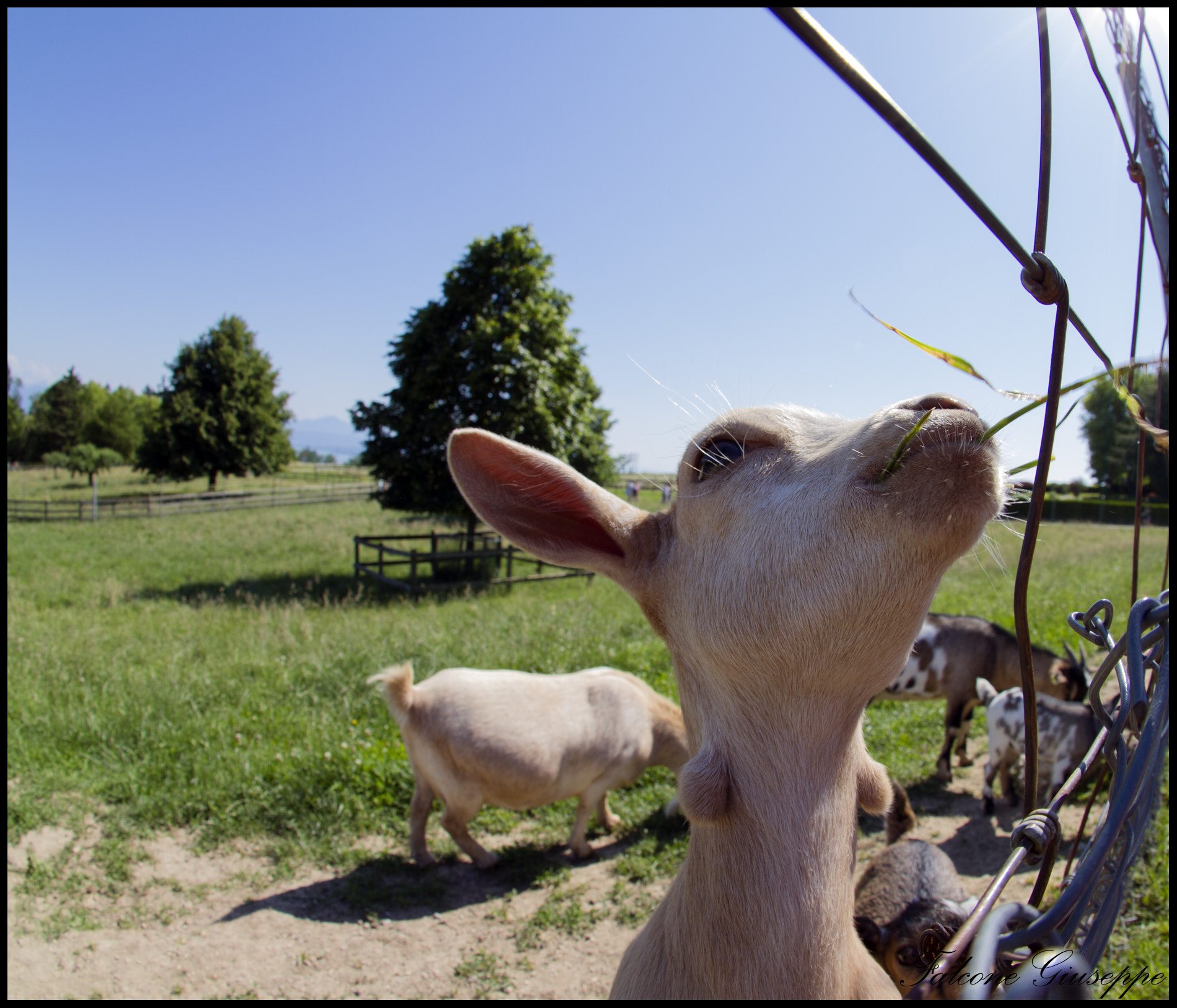 Photograph Baby Goat by Falcone Giuseppe on 500px
