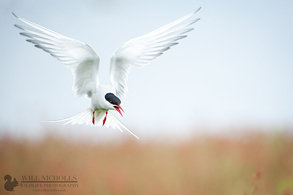 Photograph Arctic Tern Symmetry by Will Nicholls on 500px