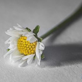 Daisy / Gänseblümchen