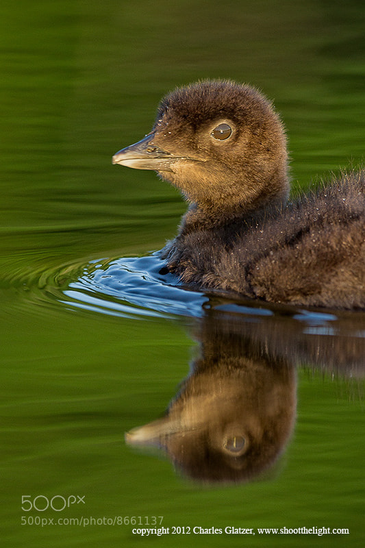 Photograph Common loon chick by Charles Glatzer on 500px