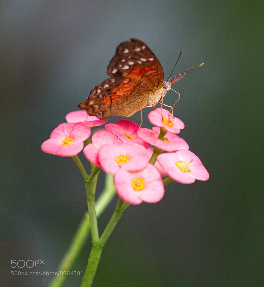 Photograph Butterfly by Joseph Calev on 500px