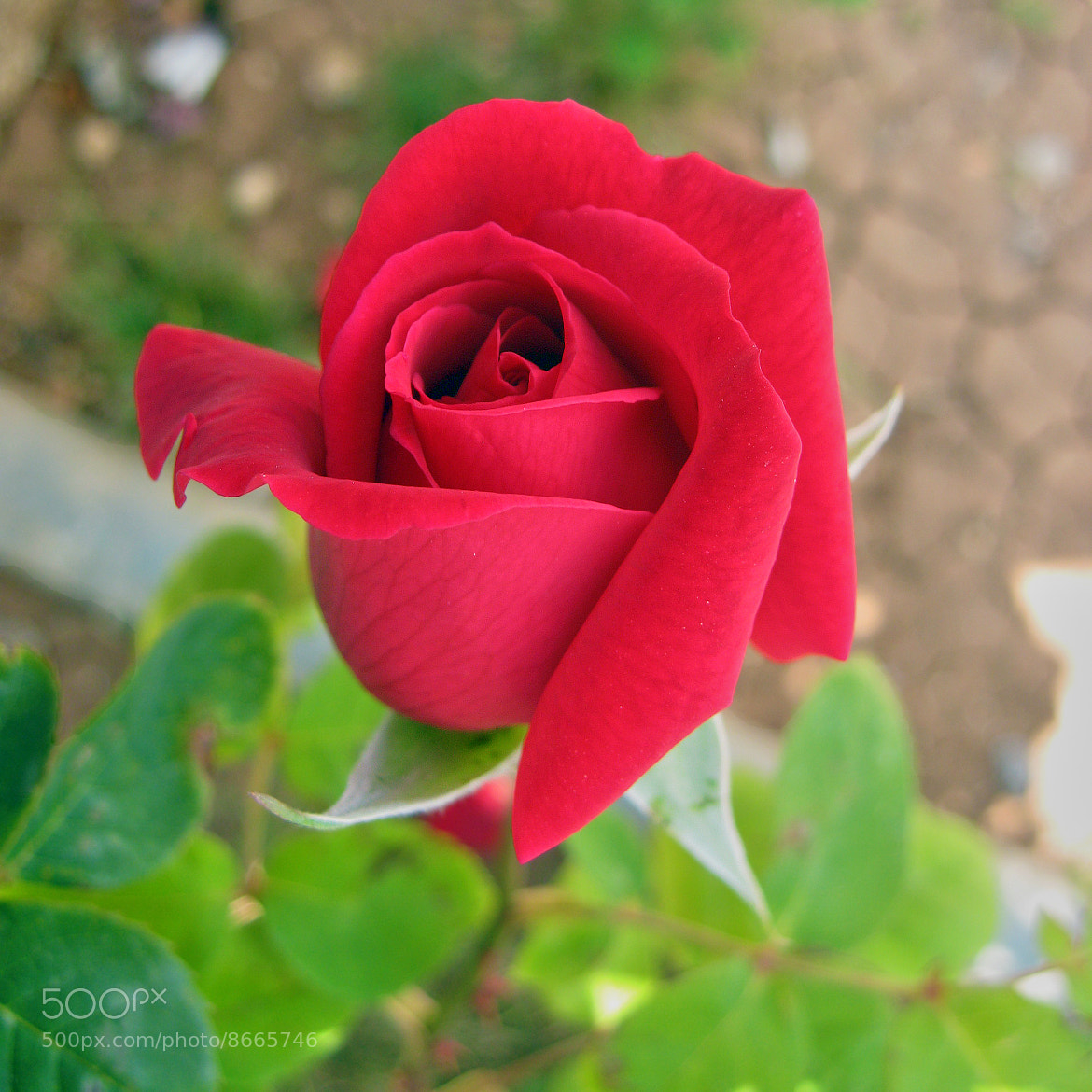 Photograph Red Rose by Majdy Jaradat on 500px