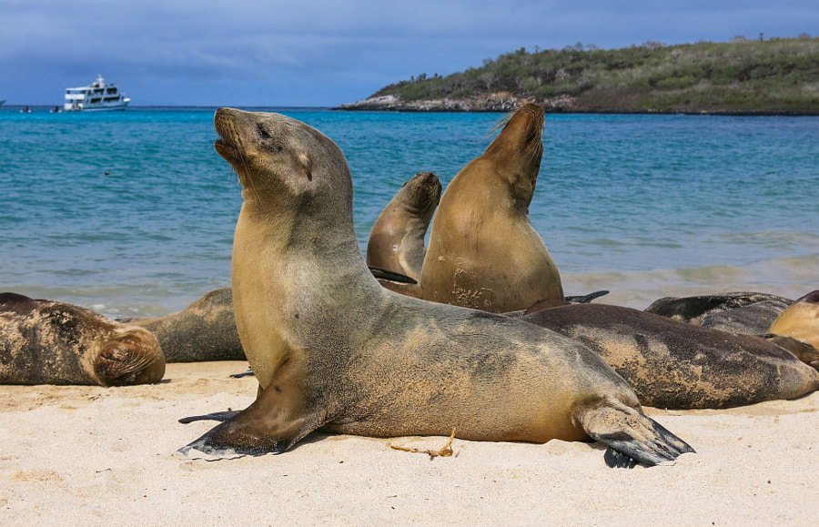 Photograph Santa Fe Island - Sea Lion Colony by Gadi Lutenberg on 500px