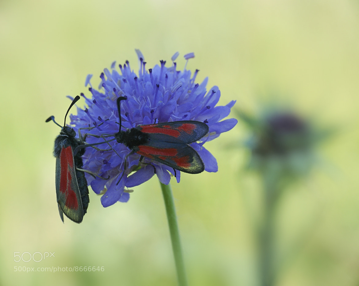 Photograph Zygaena trifolii by mauro maione on 500px