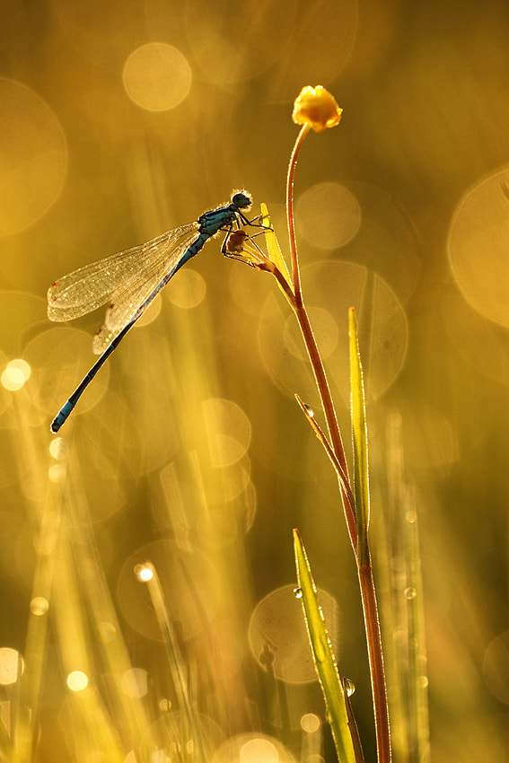Photograph Golden damselfly by Johannes van Donge on 500px