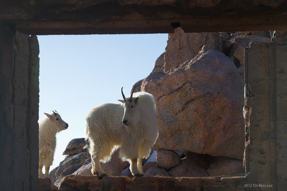 Photograph Mountain Goats in by Tin Man on 500px