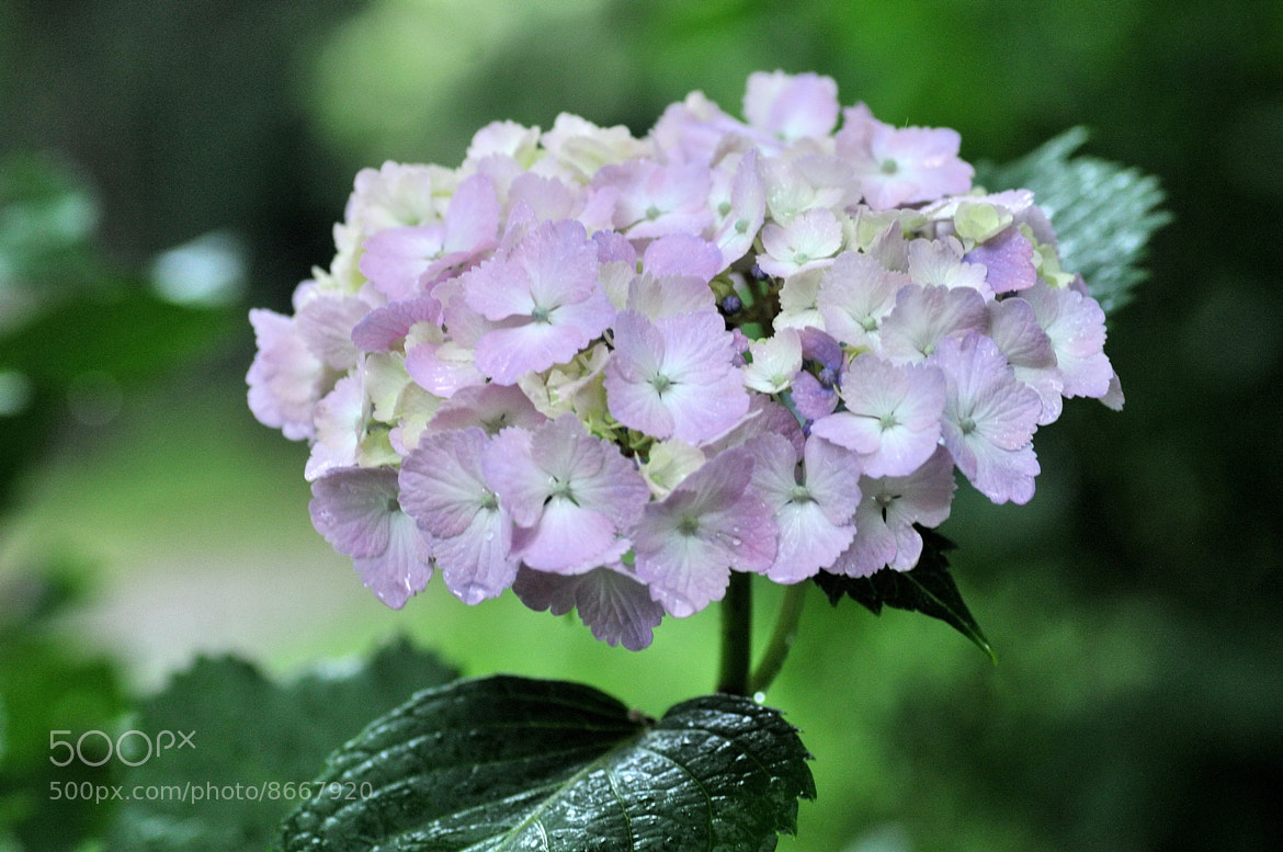 Photograph Hydrangea after Rain -5 by KEN OHSAWA on 500px