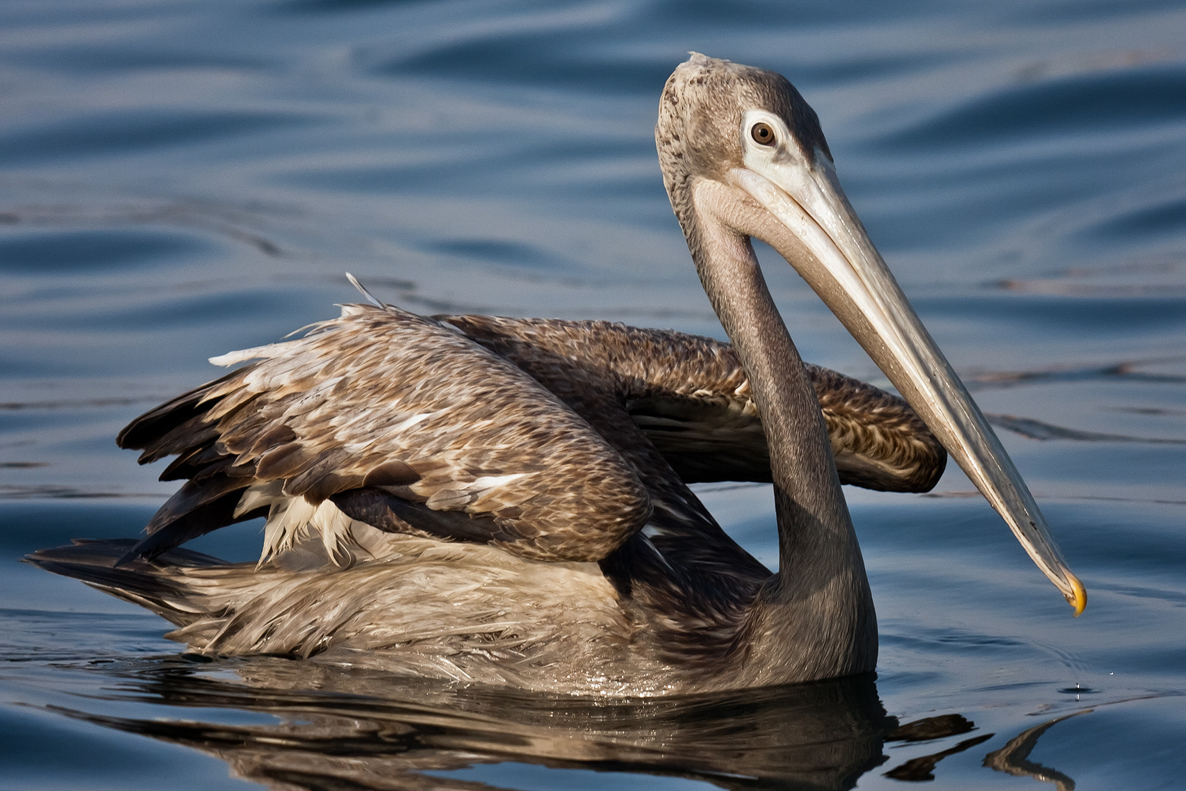 Photograph Pink-backed Pelican (Pelecanus rufecens) by Ali Alqudsi on 500px