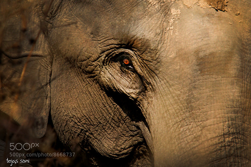 Photograph wild elephant by Tejas Soni on 500px