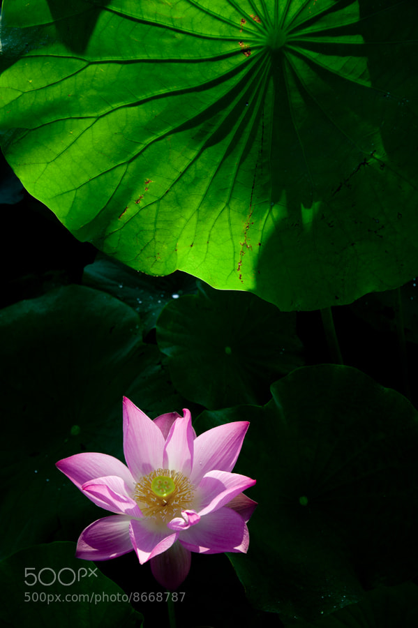 Photograph Nelumbo nucifera by taya liu on 500px