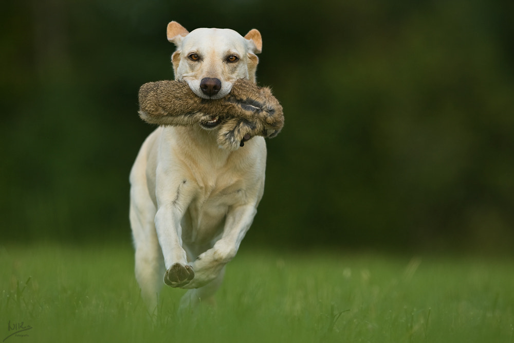 Photograph hunting dog by Nicole Knor on 500px