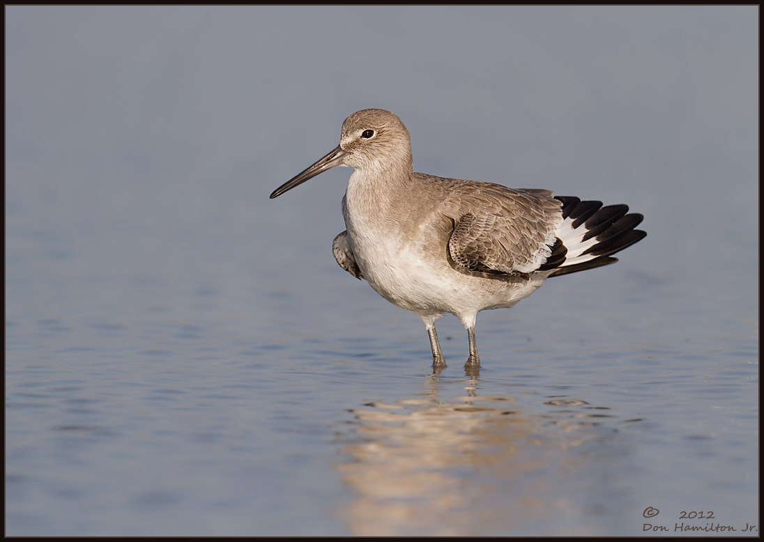 Photograph Estero Willet!! by Don  Hamilton Jr. on 500px