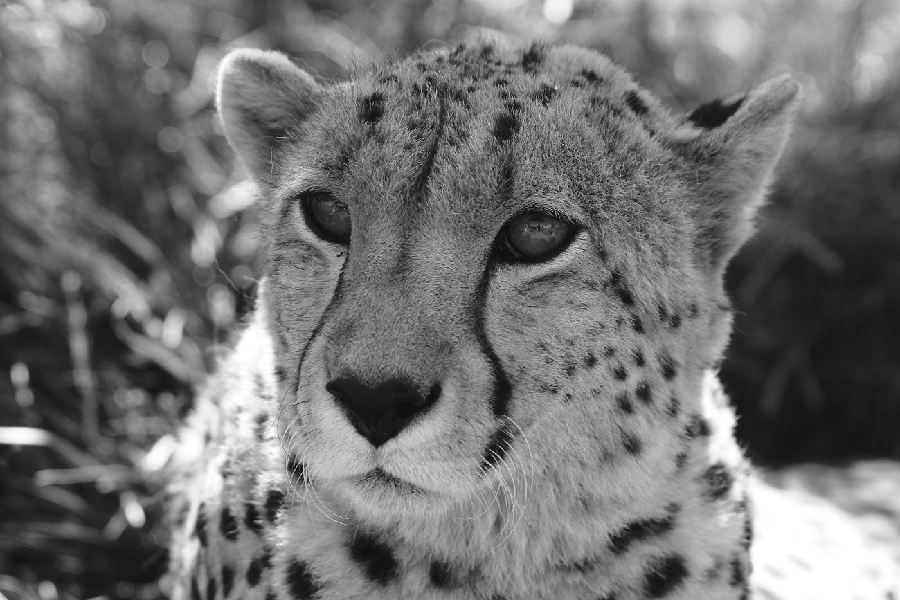 Photograph Cheetah by Henk Botha on 500px