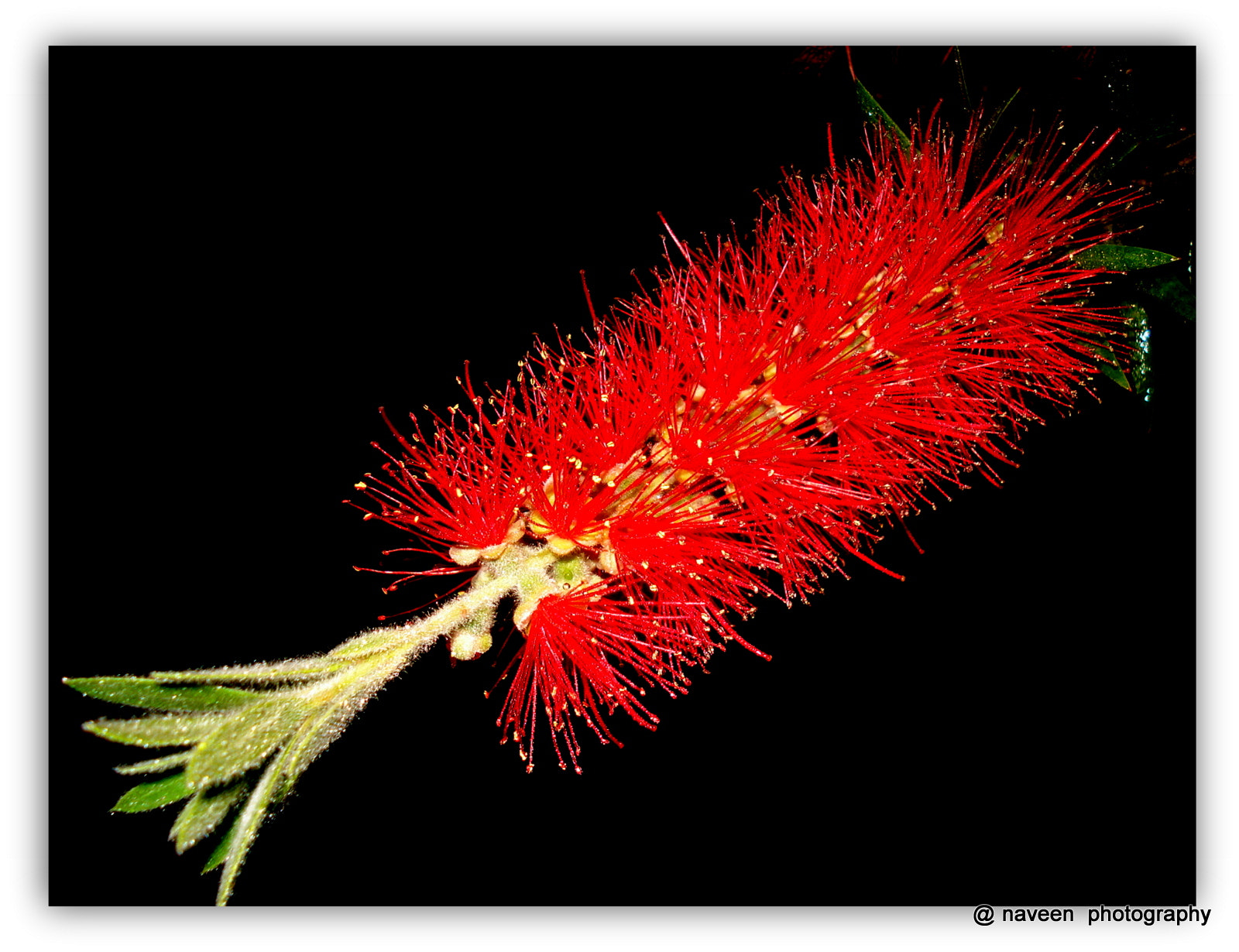 Photograph BEAUTY OF BOTTLE BRUSH by naveen sharma on 500px