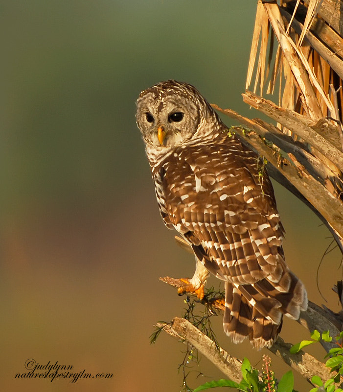 Photograph Barred Owl At Sunrise by Judylynn Malloch on 500px