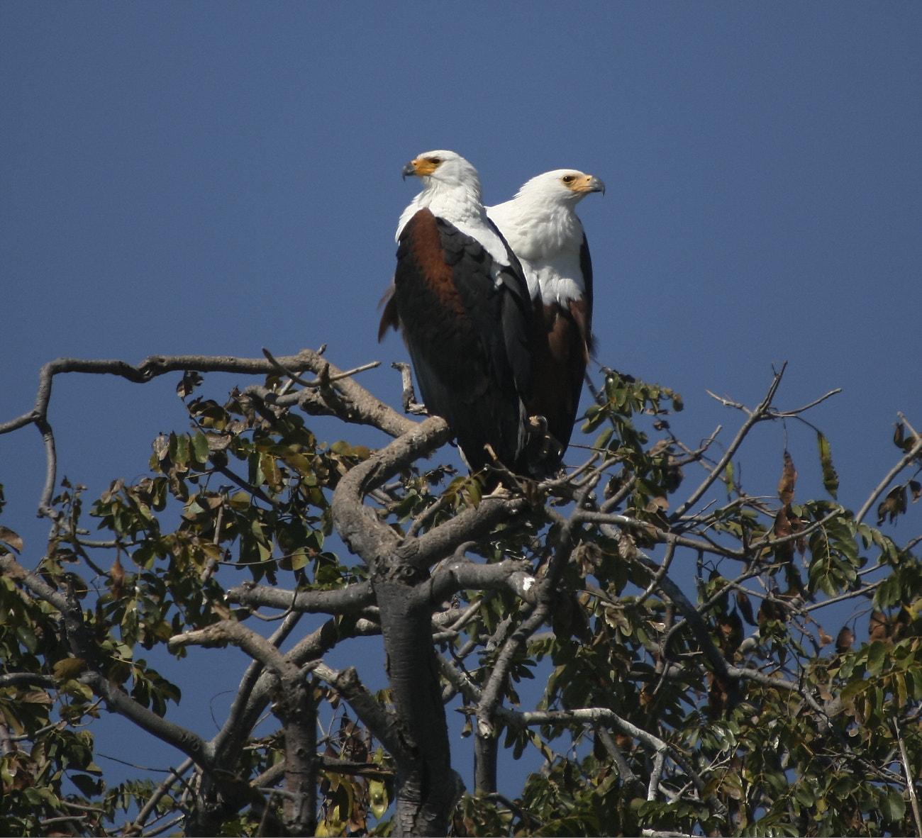 Photograph 2x Fish Eagles #1 by Henk Botha on 500px