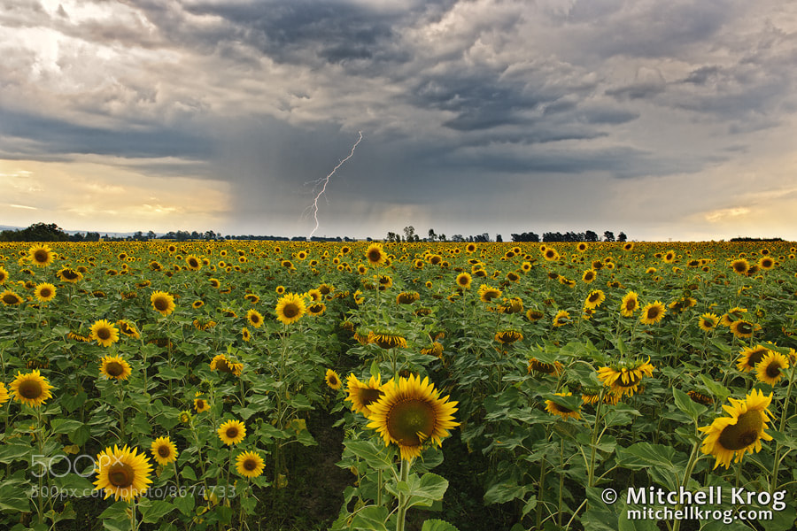 Photograph Electric Sunflower Sunset | Lightning Landscapes by Mitchell Krog on 500px