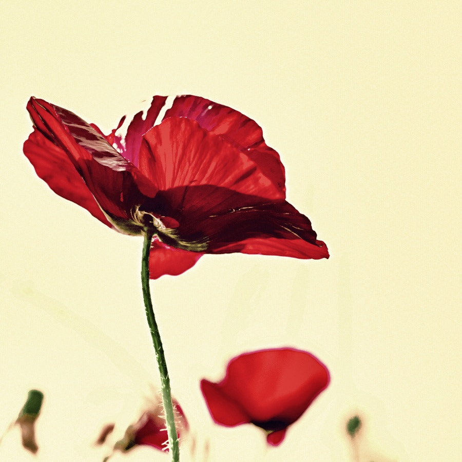 Photograph Poppy love by Talitha Hoppe on 500px