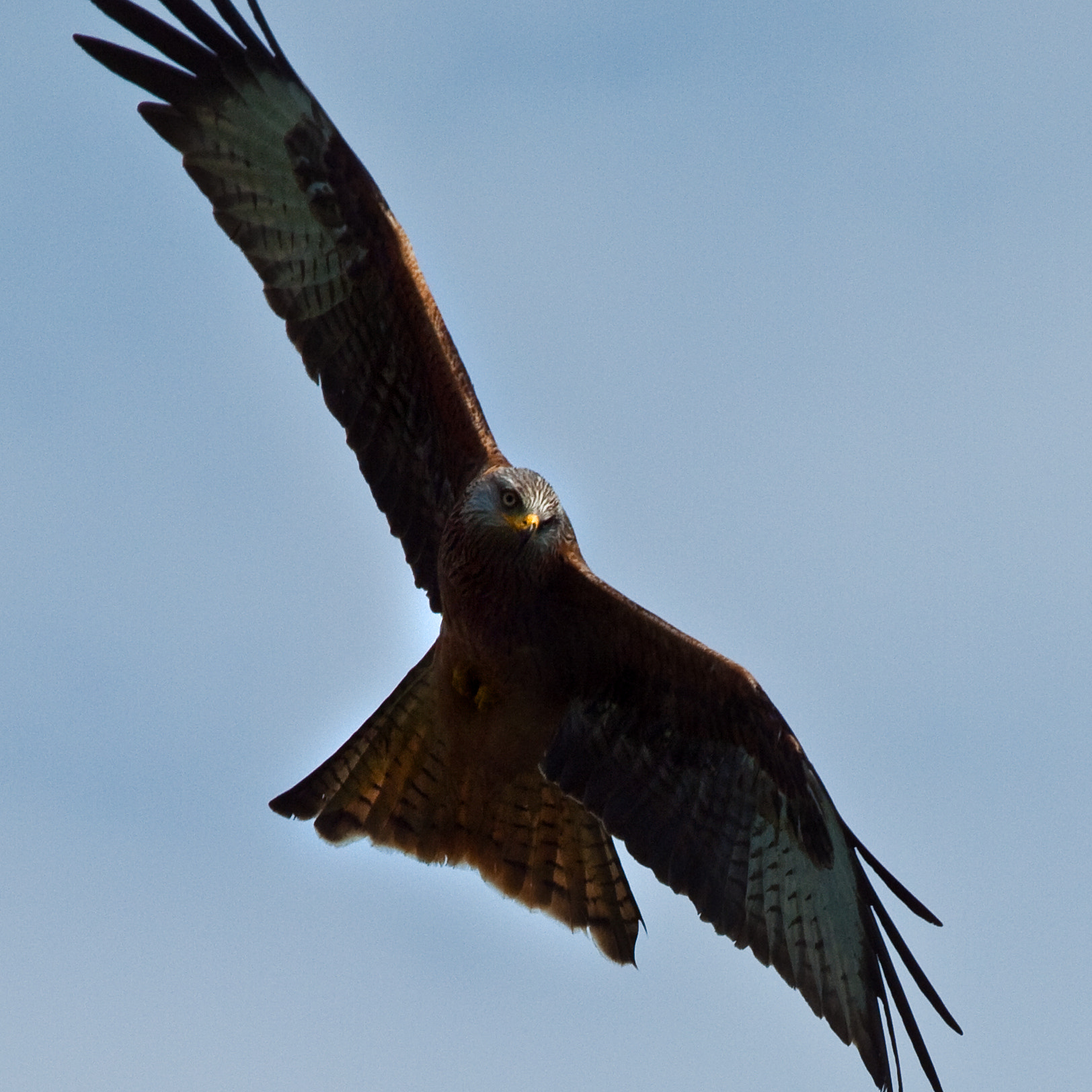 Photograph Red Kite (close-up) by George Wheelhouse on 500px
