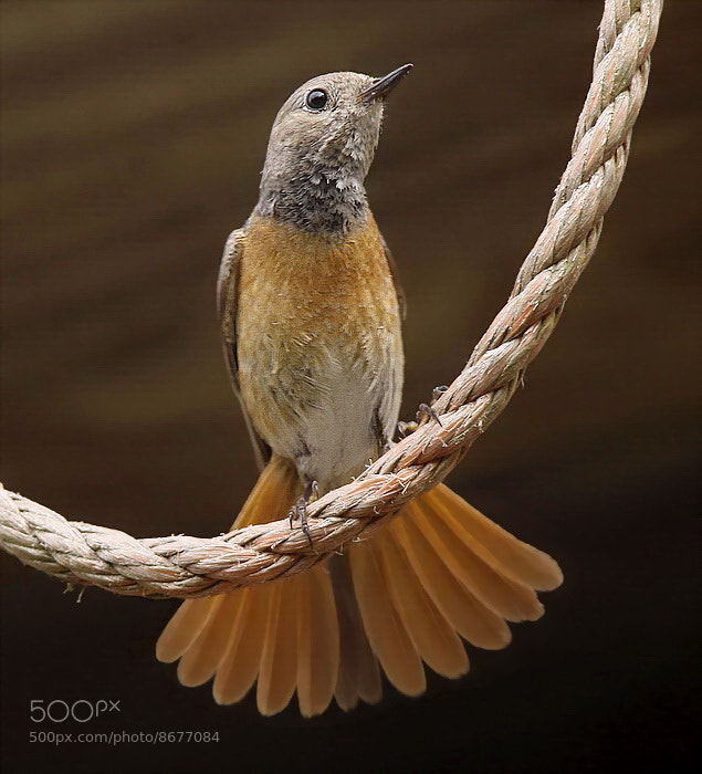 Photograph Redstart by pieterbj van den berg on 500px