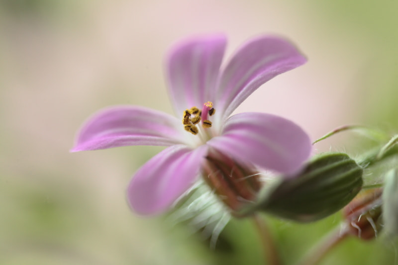 Photograph Tiny Geranium by Donna  R on 500px