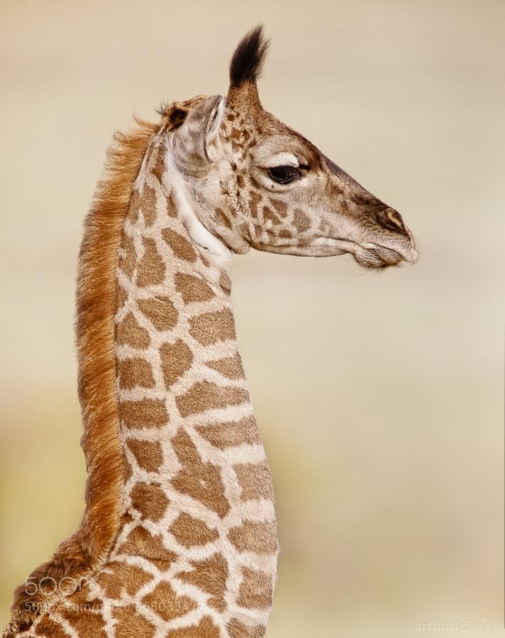 Photograph Baby Giraffe by Arthur Brunner on 500px