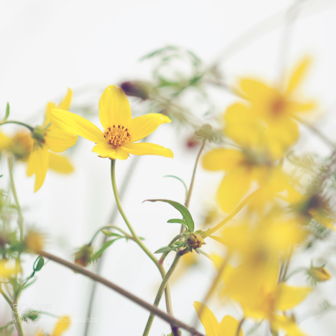 Photograph dreamy yellow flowers by Shilpa Shenoy on 500px