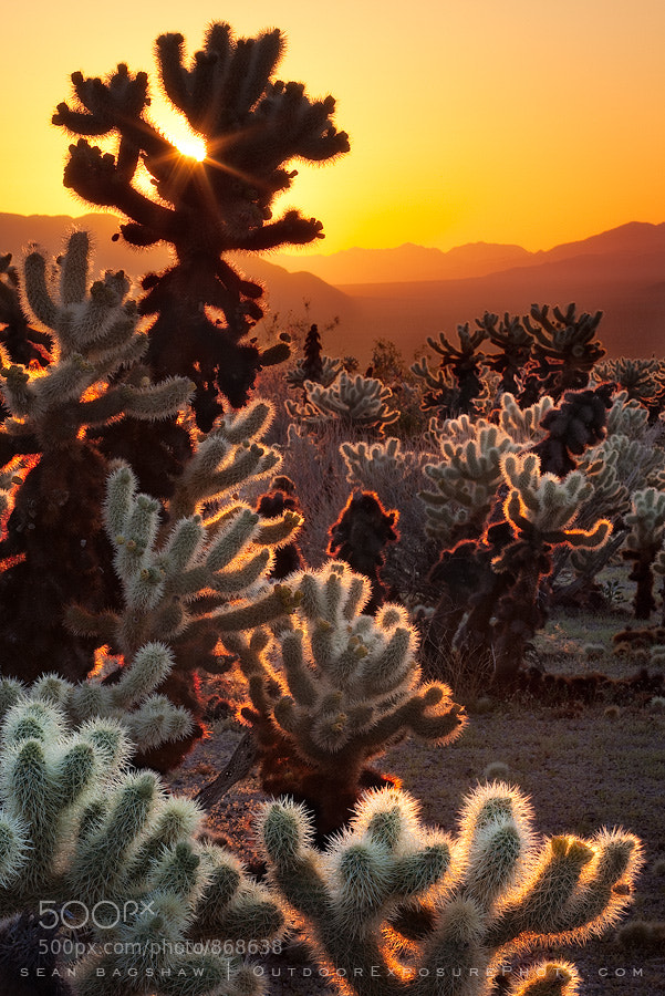 Photograph Cholla Sunrise by Sean Bagshaw on 500px
