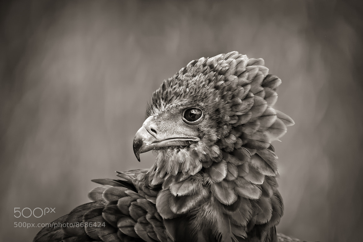 Photograph eagle by Detlef Knapp on 500px