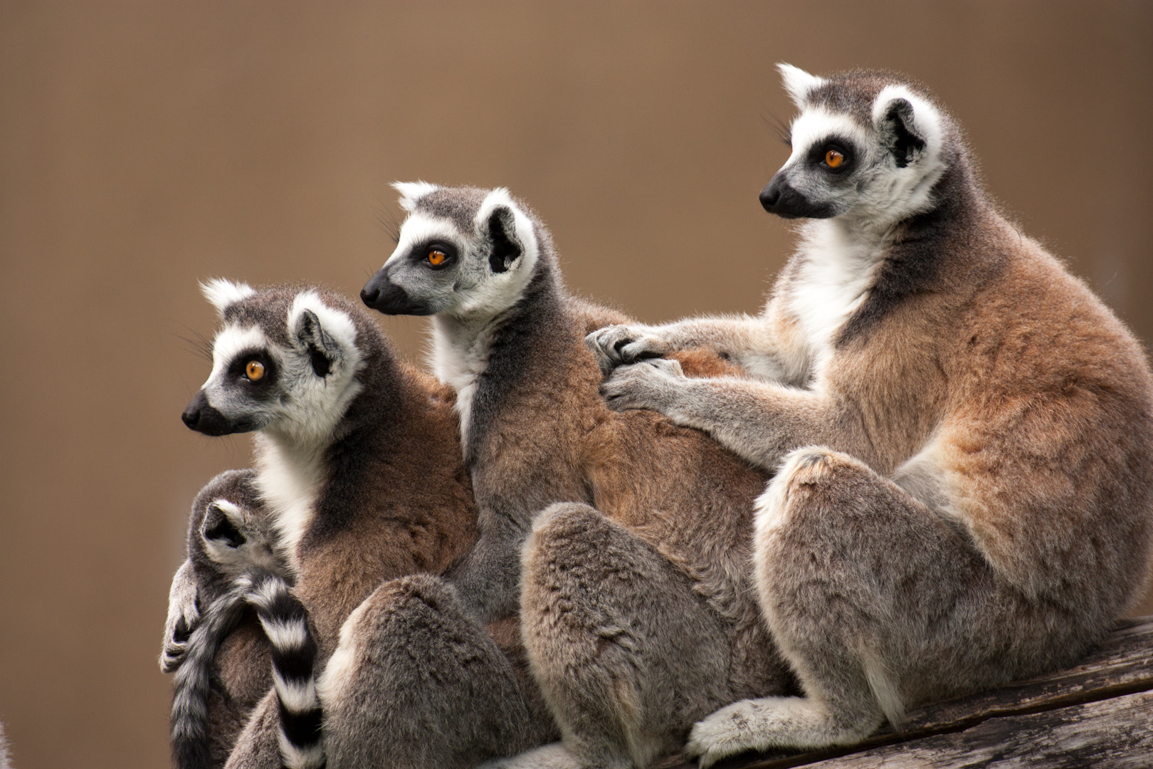 Photograph Lemur baby with his family by L. G. - luigig75 on 500px