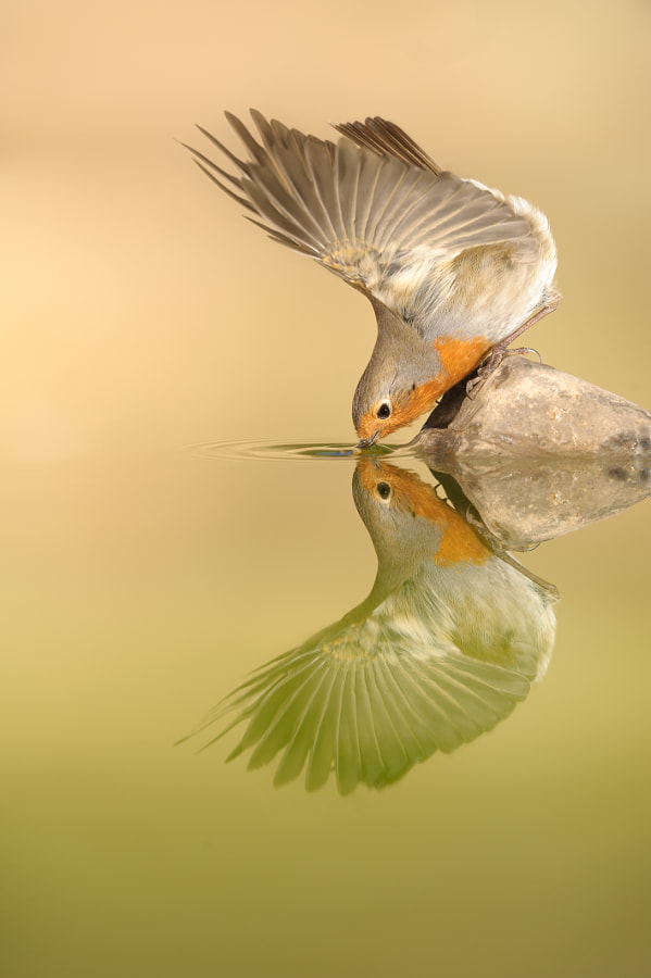 Robin and the myth of Narcissus by Juanjo Segura on 500px.com