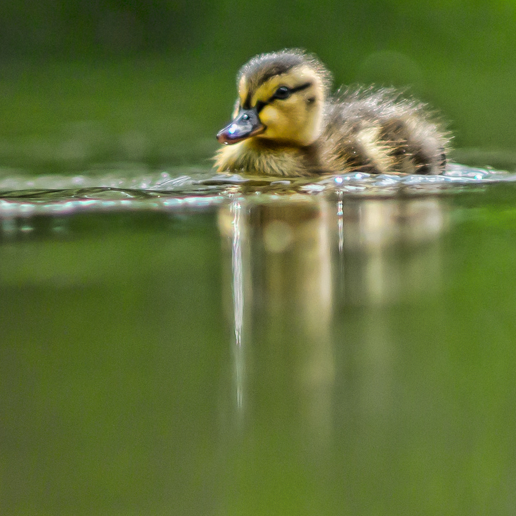 Photograph Duckling by Martin Cook on 500px