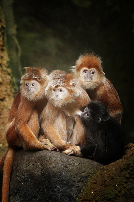 Photograph Javan Lutung Family by Andrew Teng on 500px