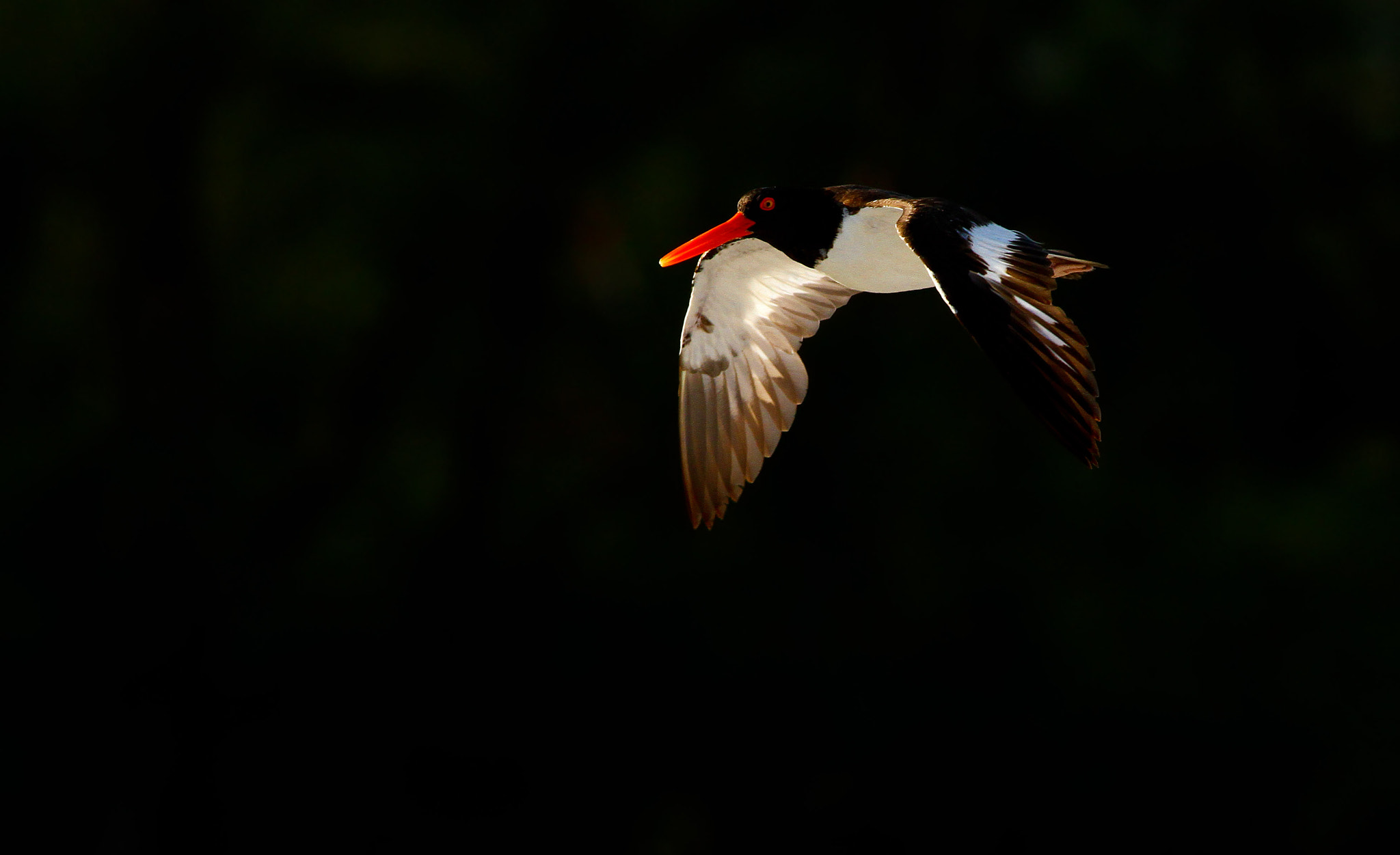 Photograph American Oystercatcher In Flight by Scott Helfrich on 500px
