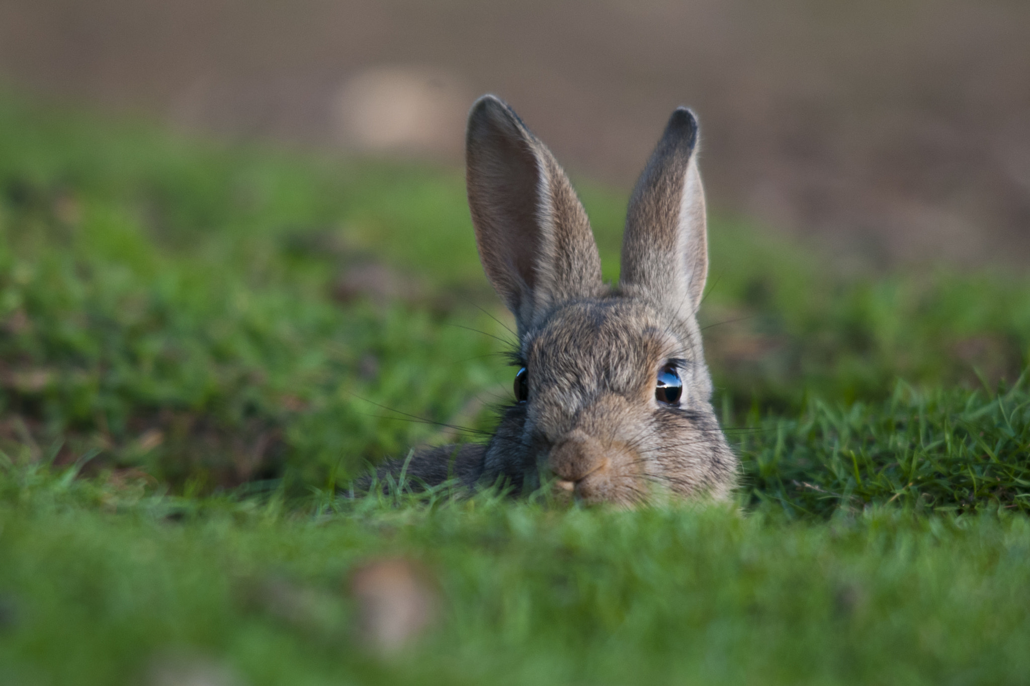 Photograph Peering Rabbit by Sam Rowley on 500px
