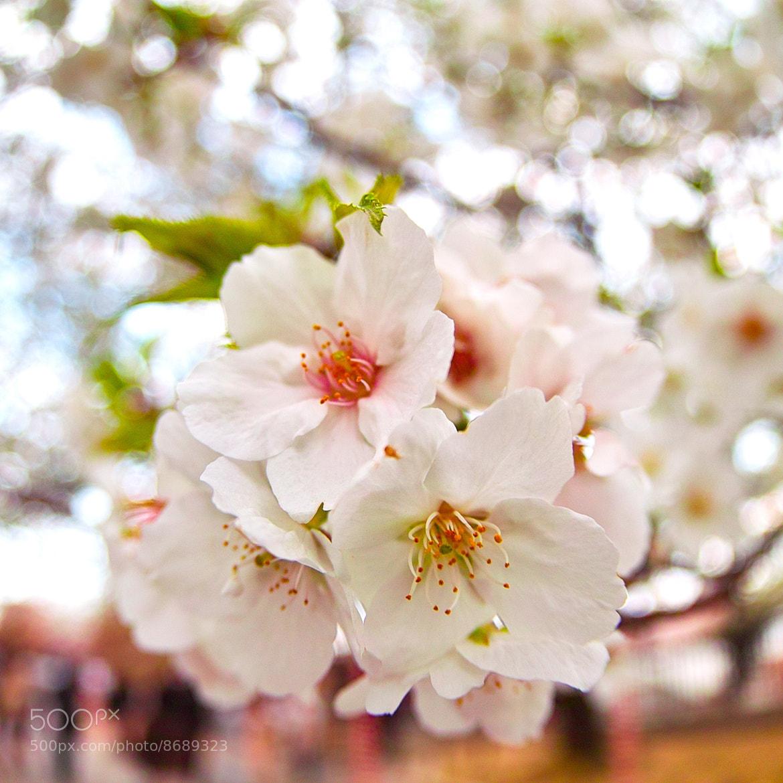 Photograph Cherry POP 2012 by TERUMI OKUYAMA on 500px