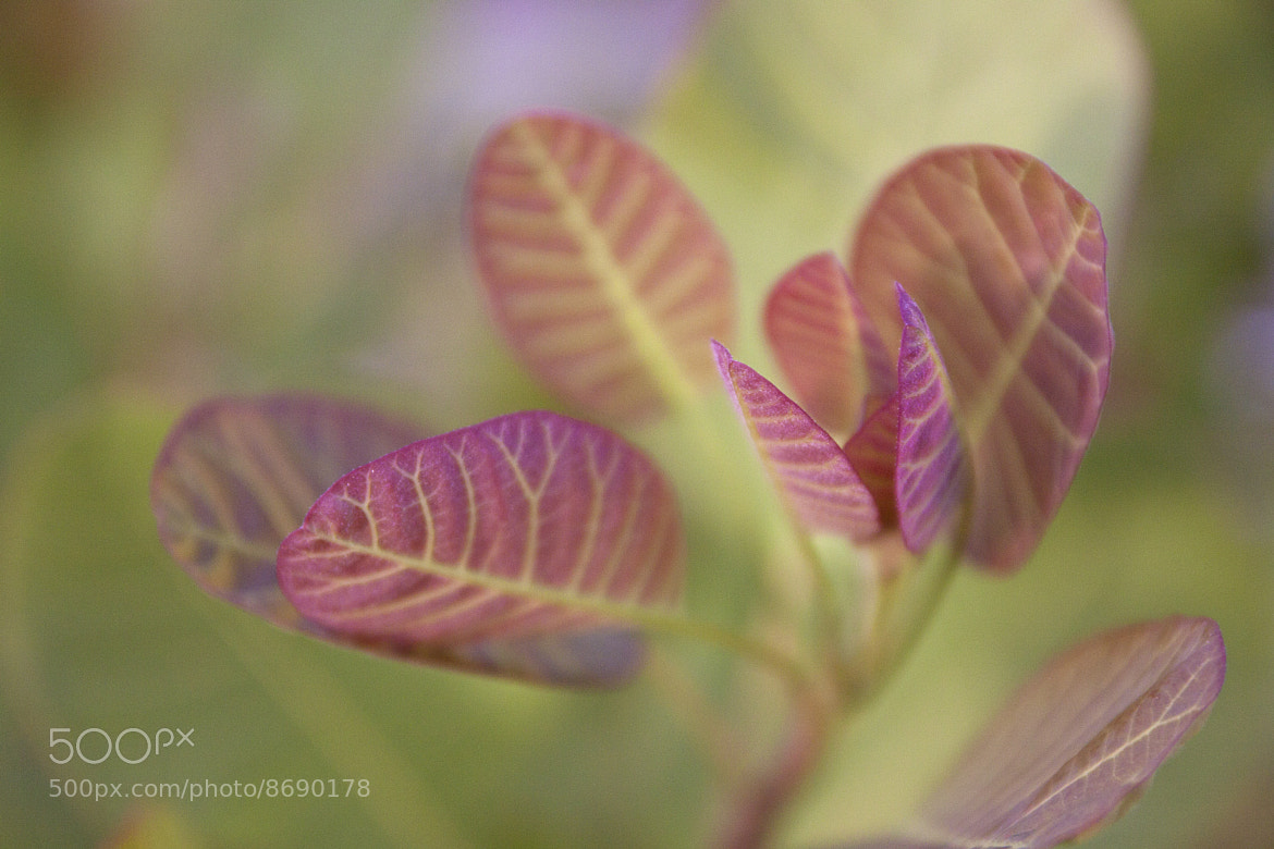 Photograph Cotinus by Annie Pronovost on 500px