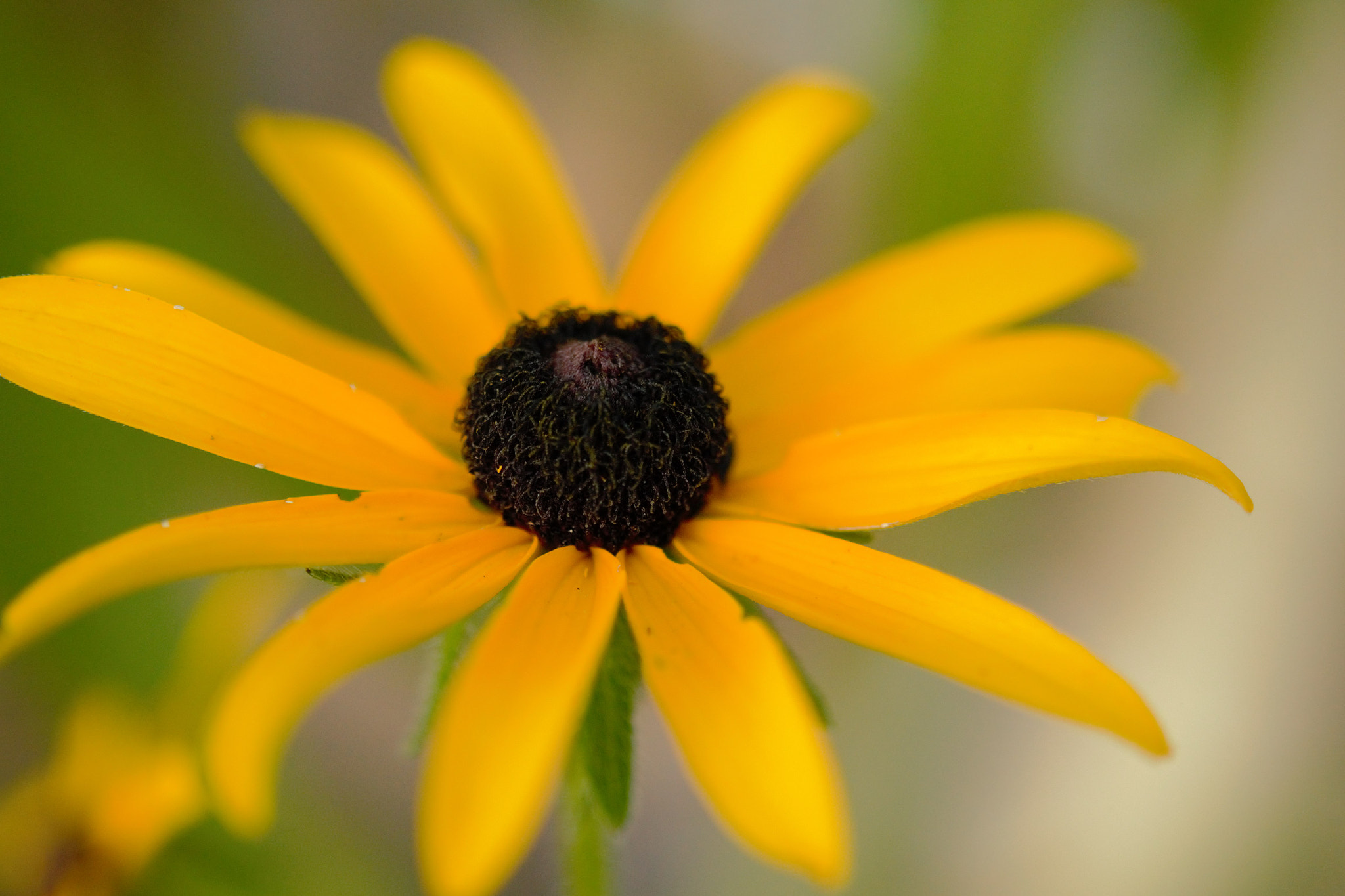 Photograph Black Eyed Susan by April Bryant on 500px