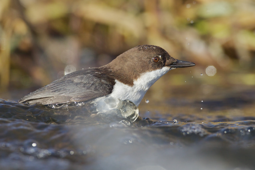 Photograph white throated dipper by Thomas  Jensen on 500px